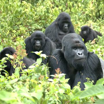 Image: Mountain gorillas