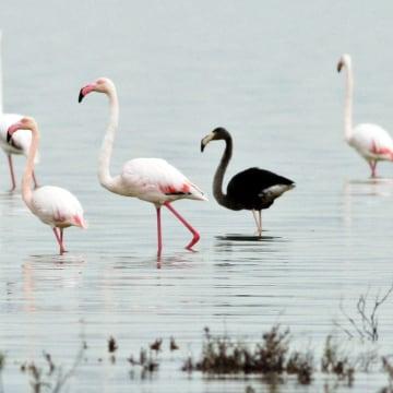 Image: Rare black flamingo spotted on Cyprus