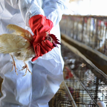Image: An Indian health worker wrings the neck of a chicken