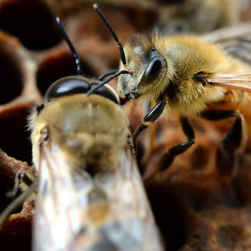 Image: Honey bees