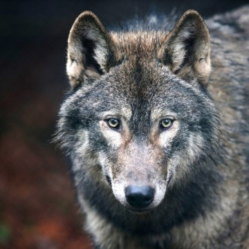 Image: A young male wolf