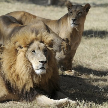 Lions are pictured in Lion Park in Lanseria