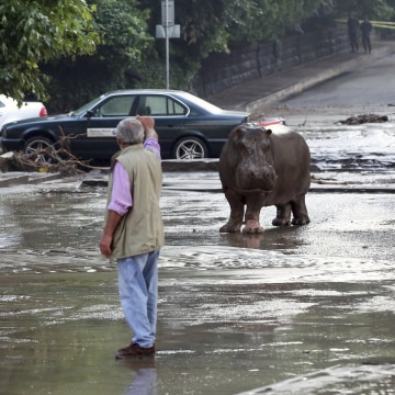 Image: A man gestures to a hippopotamus at a flooded street in Tbilisi, Georgia
