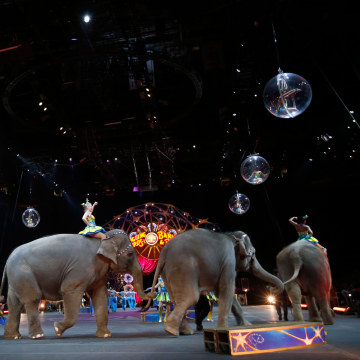 Image: Circus elephants