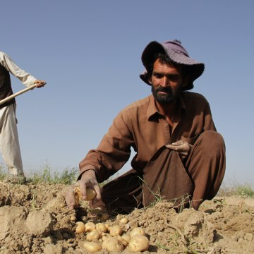 Image: Afghan farmers harvest potatoes