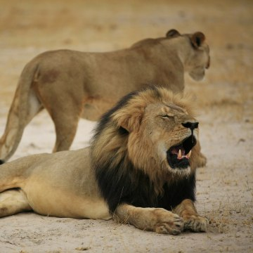 """Image: A Zimbabwean lion called """"Cecil"""""""