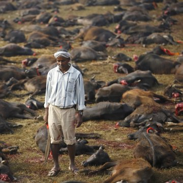 """Image: Butcher holding his blade stands among sacrificed buffalos inside an enclosed compound during the sacrificial ceremony of the """"Gadhimai Mela"""" festival held in Bariyapur"""