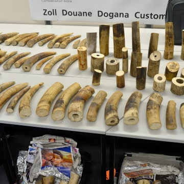 Image: Swiss customs confiscate 600 pounds of ivory