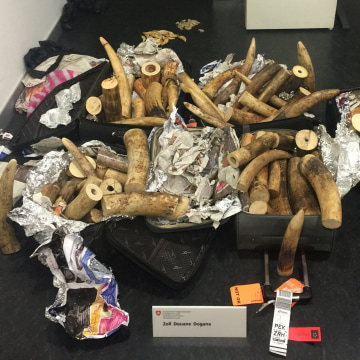 Image: Elephant tusks seized at Zurich's airport