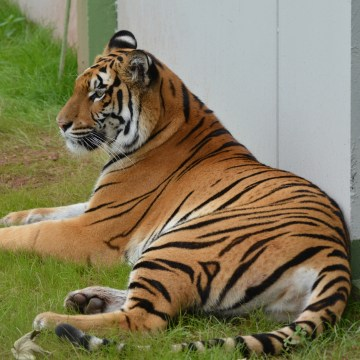 Image: 2-year-old tiger Cara at her new compound in Massweiler, Germany