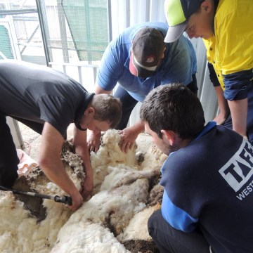 Australian sheep shearer Ian Elkins clips over 80 pounds of wool off a sheep found near Australia's capital city Canberra.