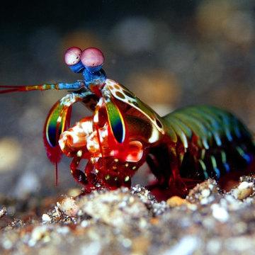 Mantis Shrimp S...