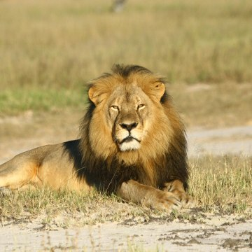 Undated picture of Cecil the lion in Zimbabwe.