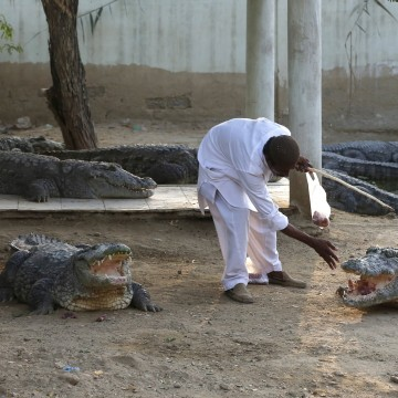 Image: Caretaker Khalifa Sajad feeds crocodiles