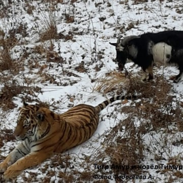Image: Amur the tiger and Timur the goat