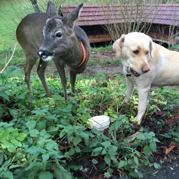 Image: Peterle, the deer, and Lady Carla, a Labrador Retriever, stand together