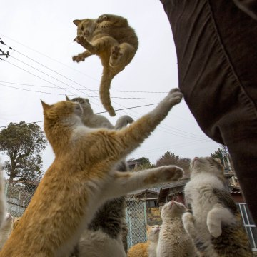Image: Cats beg for food on Aoshima Island in Ehime prefecture in southern Japan