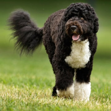 Image: Bo, the Obama family dog