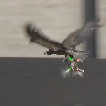 The Dutch Are Training Eagles to Take Down Rogue Drones