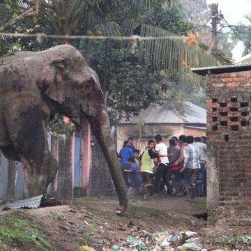 Image: People run as they follow a wild elephant that strayed into the town of Siliguri in West Bengal state, India, Wednesday, Feb. 10, 2016.