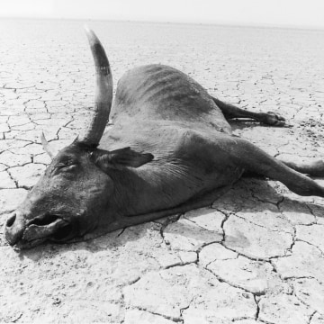 Image: Dead cow in Ethiopia in 1984
