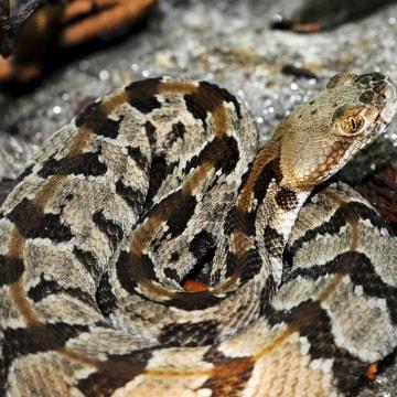 Image: Timber Rattlesnake