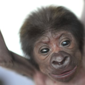 Image: Female gorilla born by caesarean