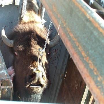 Image: Yellowstone's Stephens Creek bison trap