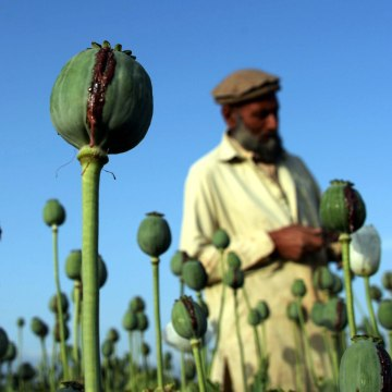 Image: Afghan farmers harvest opium sap from a poppy field