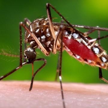 Image: Aedes aegypti mosquito