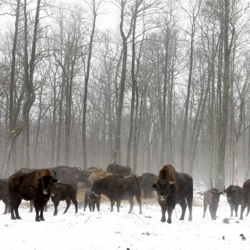 Image: Bison in the Chernobyl exclusion zone