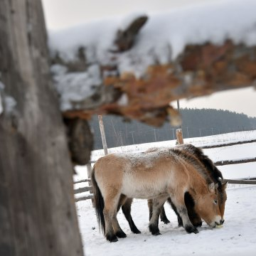 Image: Wild Przewalski's horses in the Chernobyl Exclusion Zone