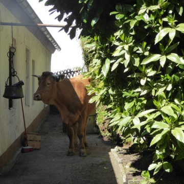 Image: The cow behind the house