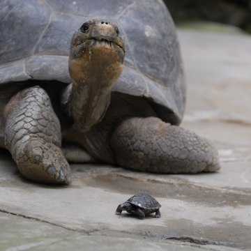 Image: Nigrita the tortoise and one of her babies