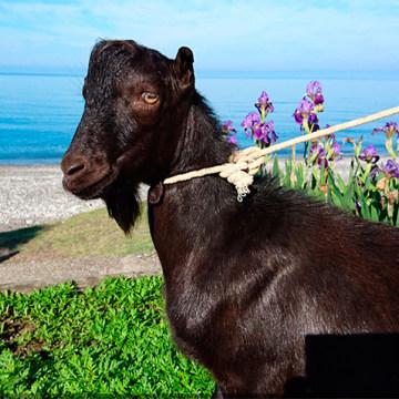 Image: Goat