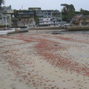 IMAGE: Red crabs on beach