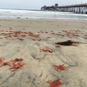 IMAGE: Red crabs on Imperial Beach