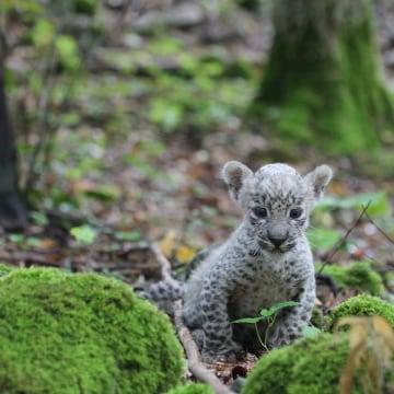 Image: Persian leopard cub