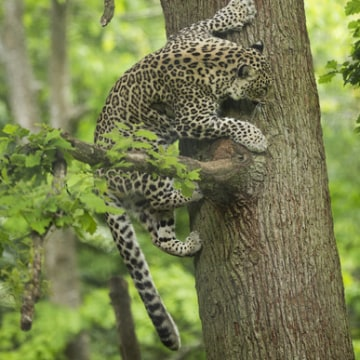Image: A Persian leopard in a tree