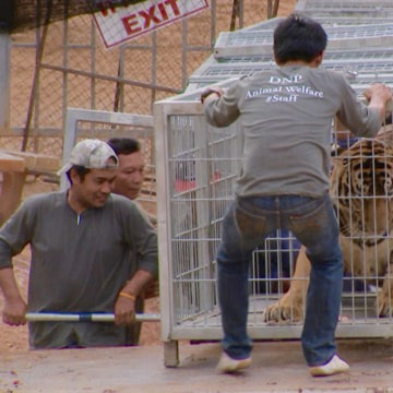 Image: A caged tiger