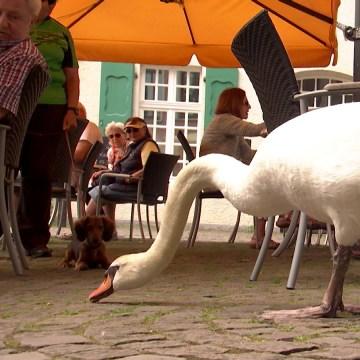 Image: Alfred the swan.