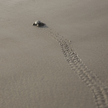 Image: A Kemp's Ridley turtle hatchling wades into the Gulf of Mexico