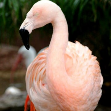 Image: A Chilean flamingo named Pinky is pictured in Busch Gardens, in Tampa Bay, Florida