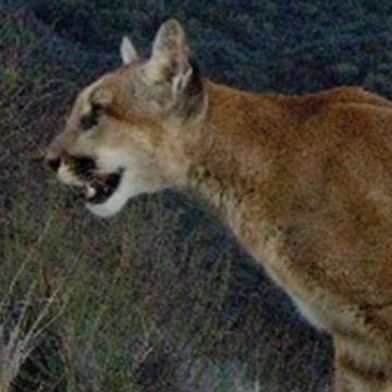Image: A female mountain lion in the Santa Monica Mountains.