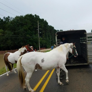 IMAGE: Tangipahoa Parish horse rescue