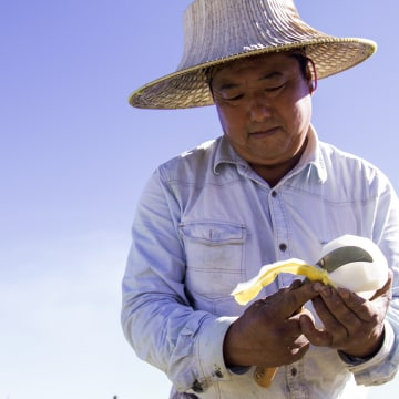 Hmong farmer Neng Fong Chang cuts an Asian melon on his farm in Fresno, California. Fresno is home to over 24,000 people of Hmong descent, and 13 percent of the city'??s total population is Asian.