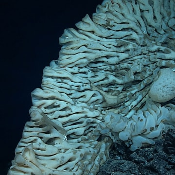 Image: A giant sponge in the Papahanaumokuakea Marine National Monument