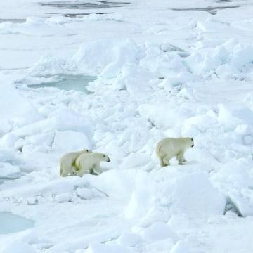 Image: Russian polar bears