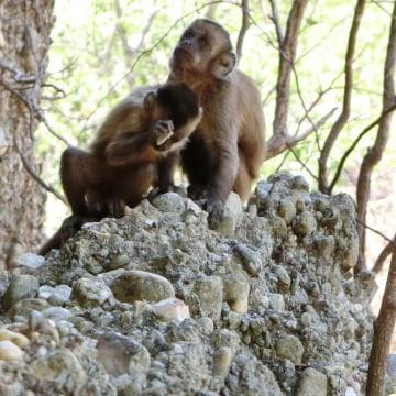 Image: Wild-bearded capuchin monkey in Serra da Capivara National Park, Brazil