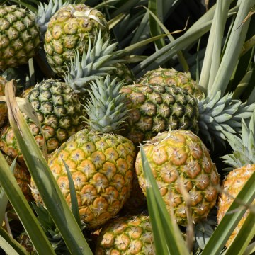 Inside the Pineapple Industry in Colombia